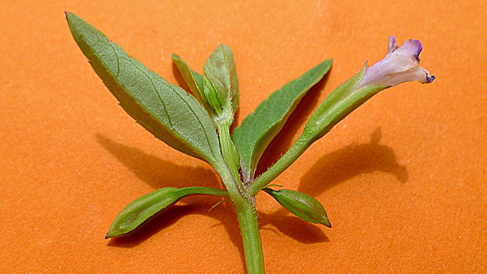 Image of <i>Torenia thouarsii</i> (Cham. & Schltdl.) Kuntze