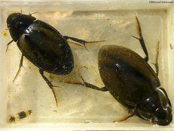 Image of <i><i>Hydrophilus</i></i> (Hydrophilus) <i>pistaceus</i> Laporte de Castelnau 1840