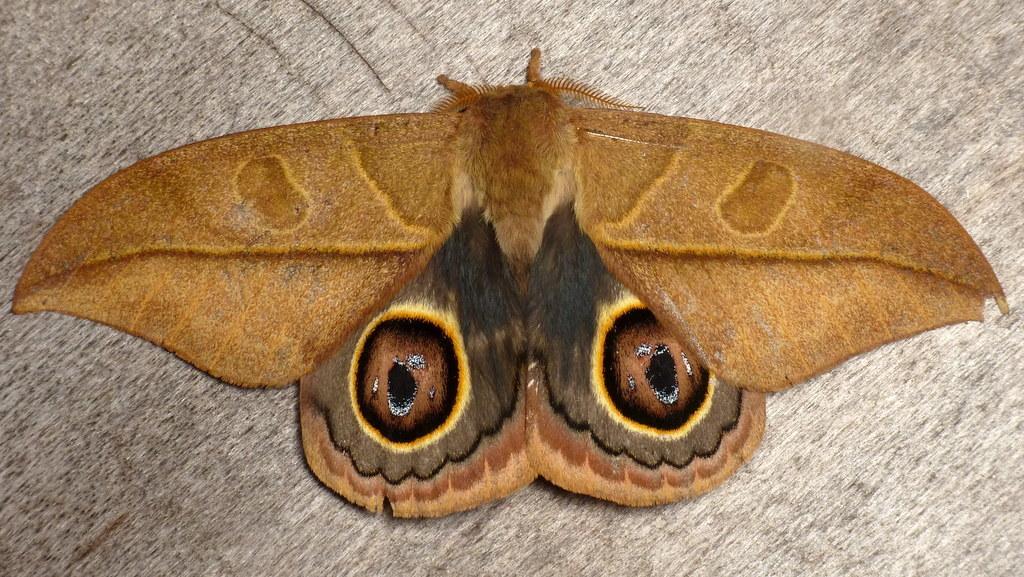 Image of <i>Leucanella lynx</i> (Bouvier 1930)