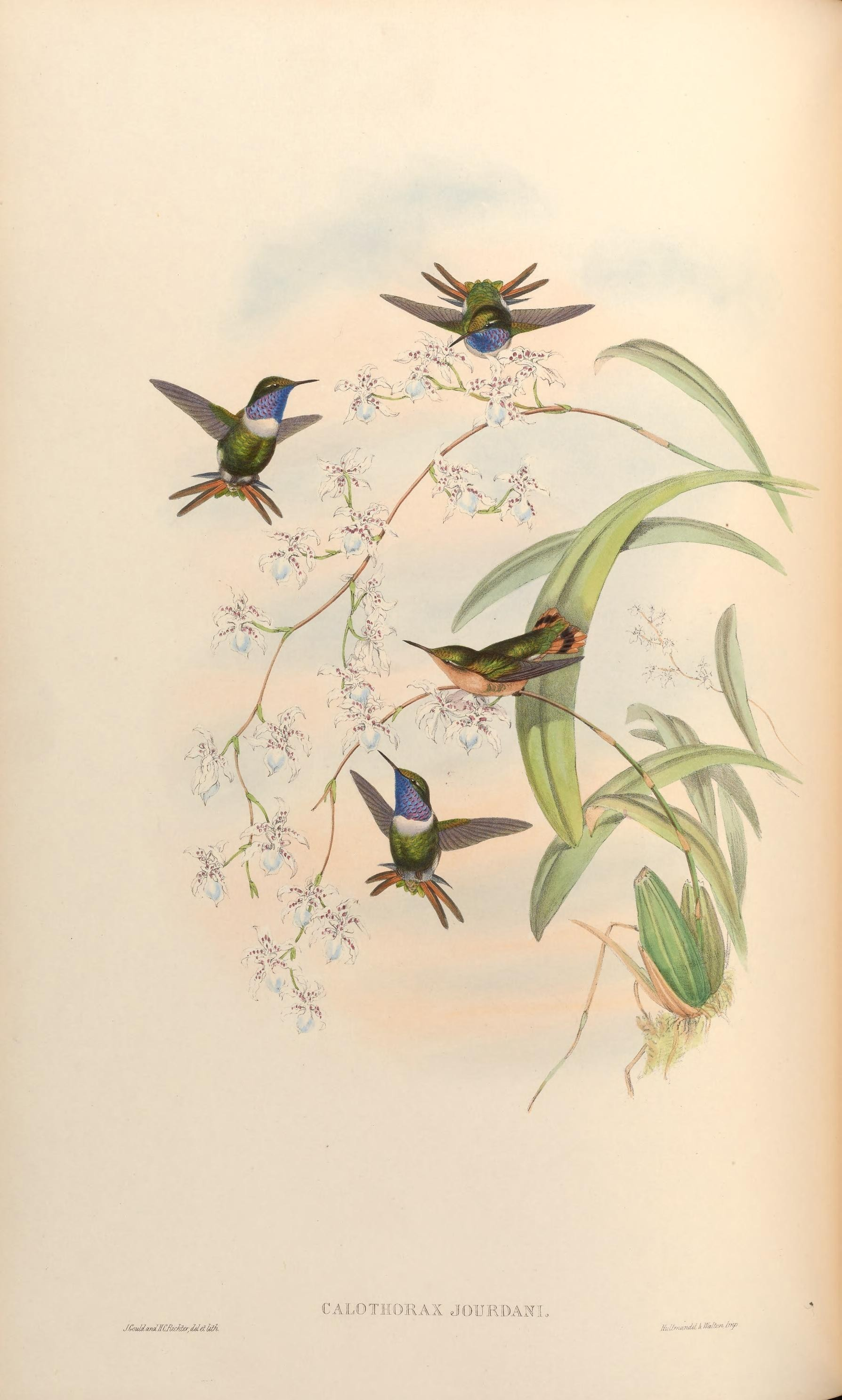 Image of Rufous-shafted Woodstar
