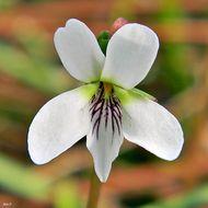 Image of bog white violet