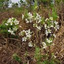 Image of <i>Campomanesia pubescens</i> (A. P. de Candolle) Berg