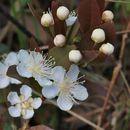 Image of <i>Campomanesia adamantium</i> (Cambessèdes) Berg
