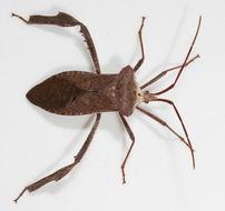 Image de <i>Acanthocephala declivis</i> (Say 1832)