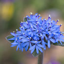 Image of blue pincushion