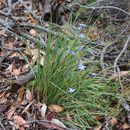 Image of <i>Orthrosanthus multiflorus</i> Sweet