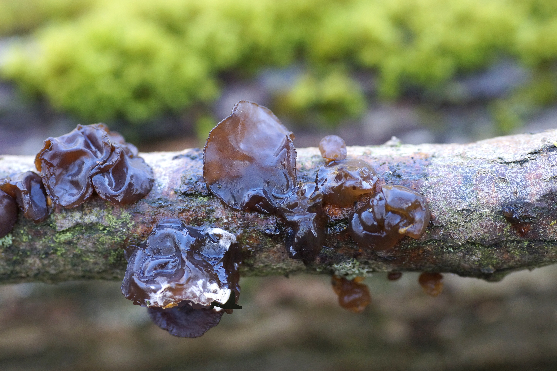Image of <i>Tremella foliaceae</i>
