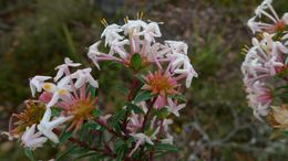 Image of <i>Pimelea linifolia</i> Sm.