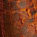 Image of paperbark maple