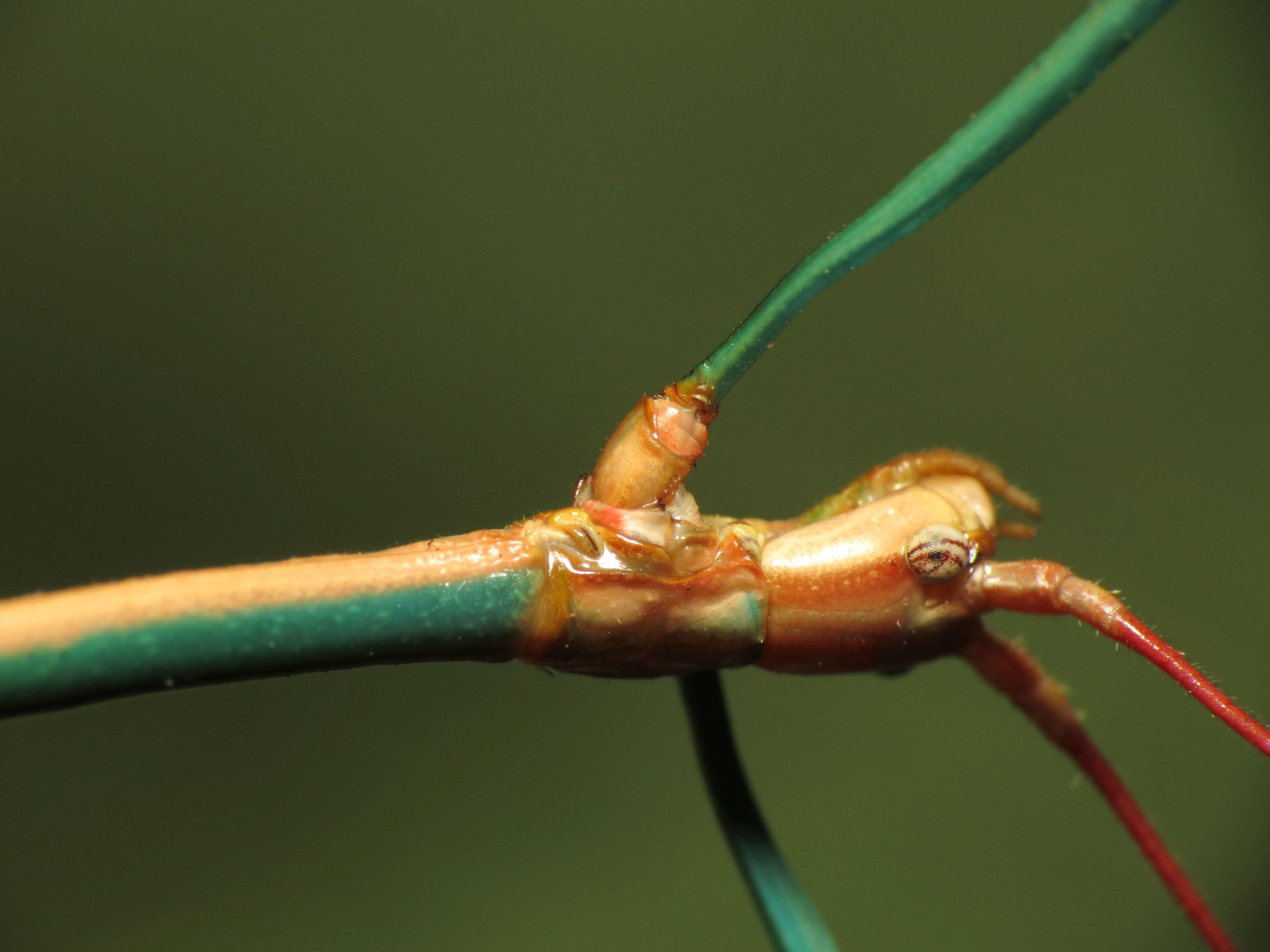 Image of Arizona Walkingstick