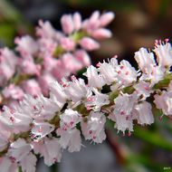 Image of largeflower jointweed