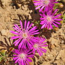 Image of <i>Drosanthemum floribundum</i> (Haw.) Schwant.