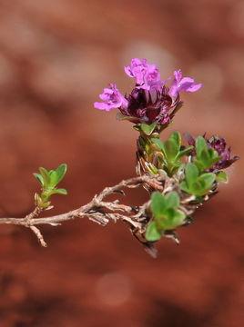 Image of <i>Thymus nervosus</i> J. Gay ex Willk.