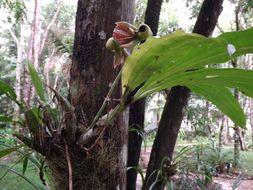 Image of <i>Catasetum integerrimum</i> Hook.