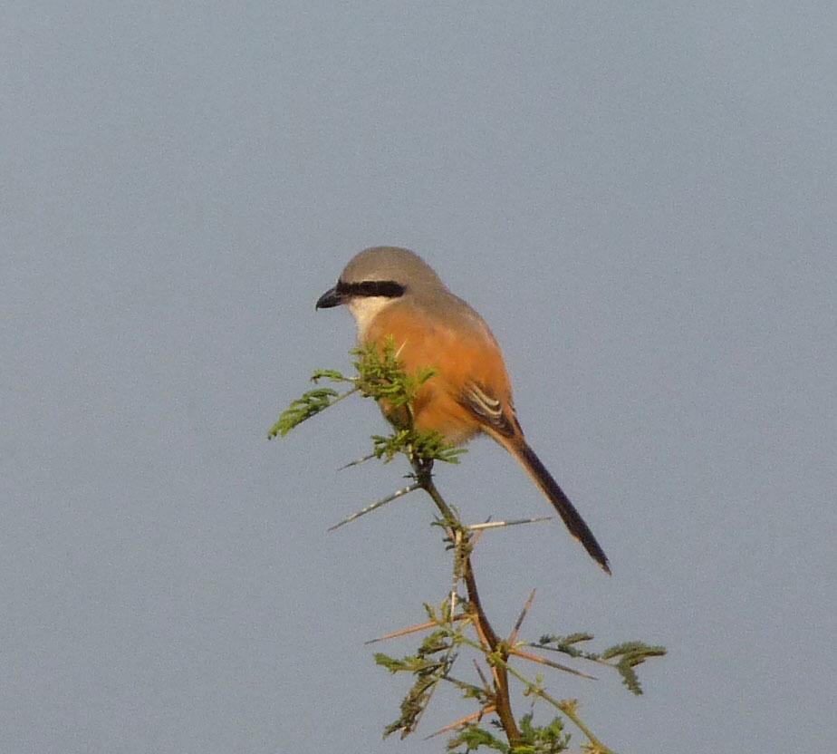Image of Bay-backed Shrike