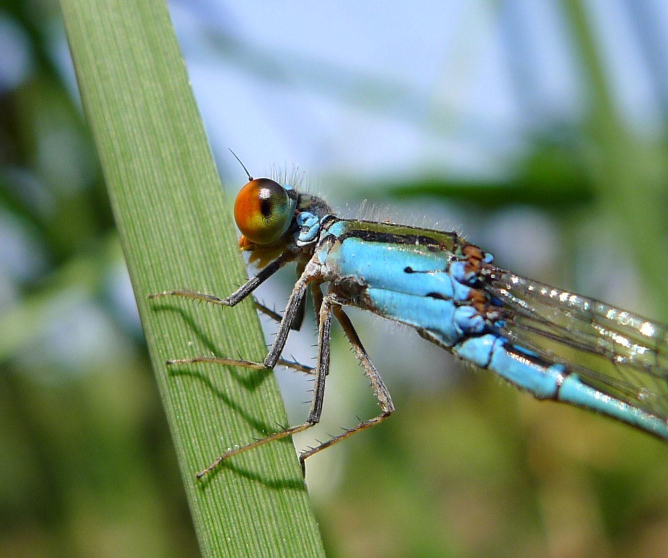 Image of <i>Pseudagrion ruriceps</i>