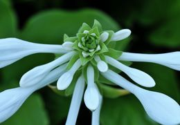 Image of fragrant plantain lily