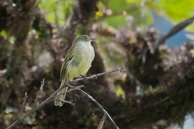Image of Bolivian Tyrannulet