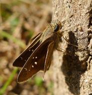 Image of Lesser millet skipper