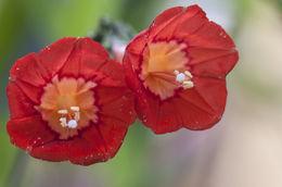 Image of <i>Ipomoea cholulensis</i> Kunth