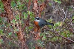 Image of Chestnut-breasted Mountain Finch