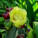 Image of Coastal Prickly-pear