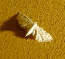 Image of <i>Parapoynx stagnalis</i> Zeller 1852
