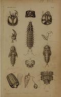 Image of <i>Berosus</i> (<i>Enoplurus</i>) <i>spinosus</i> (Steven 1808)