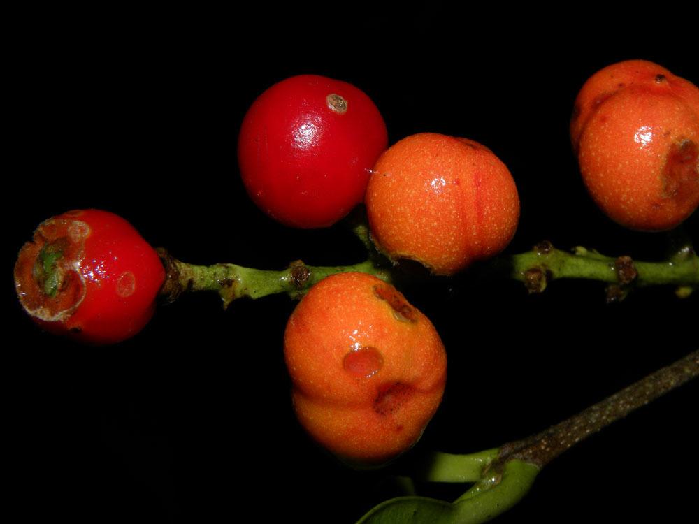 Image of <i>Bunchosia ursana</i> W. R. Anderson