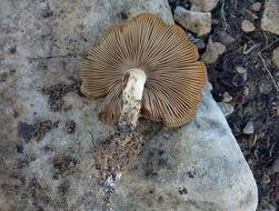 Image of <i>Pholiota highlandensis</i> (Peck) Quadr. & Lunghini 1990