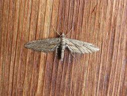Image of <i>Eupithecia acutipennis</i> Hulst 1898