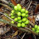 Image of <i>Chondrodendron platiphyllum</i>