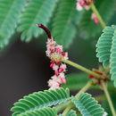 Image of <i>Acacia concinna</i> (Willd.) DC.