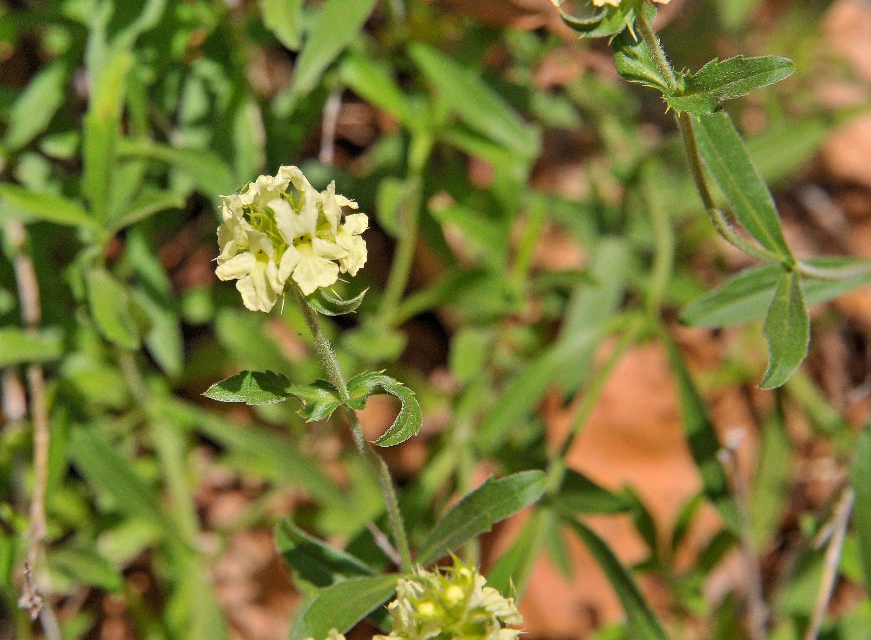 Image of <i>Sideritis <i>hyssopifolia</i></i> hyssopifolia