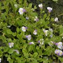 Image of Japanese mazus