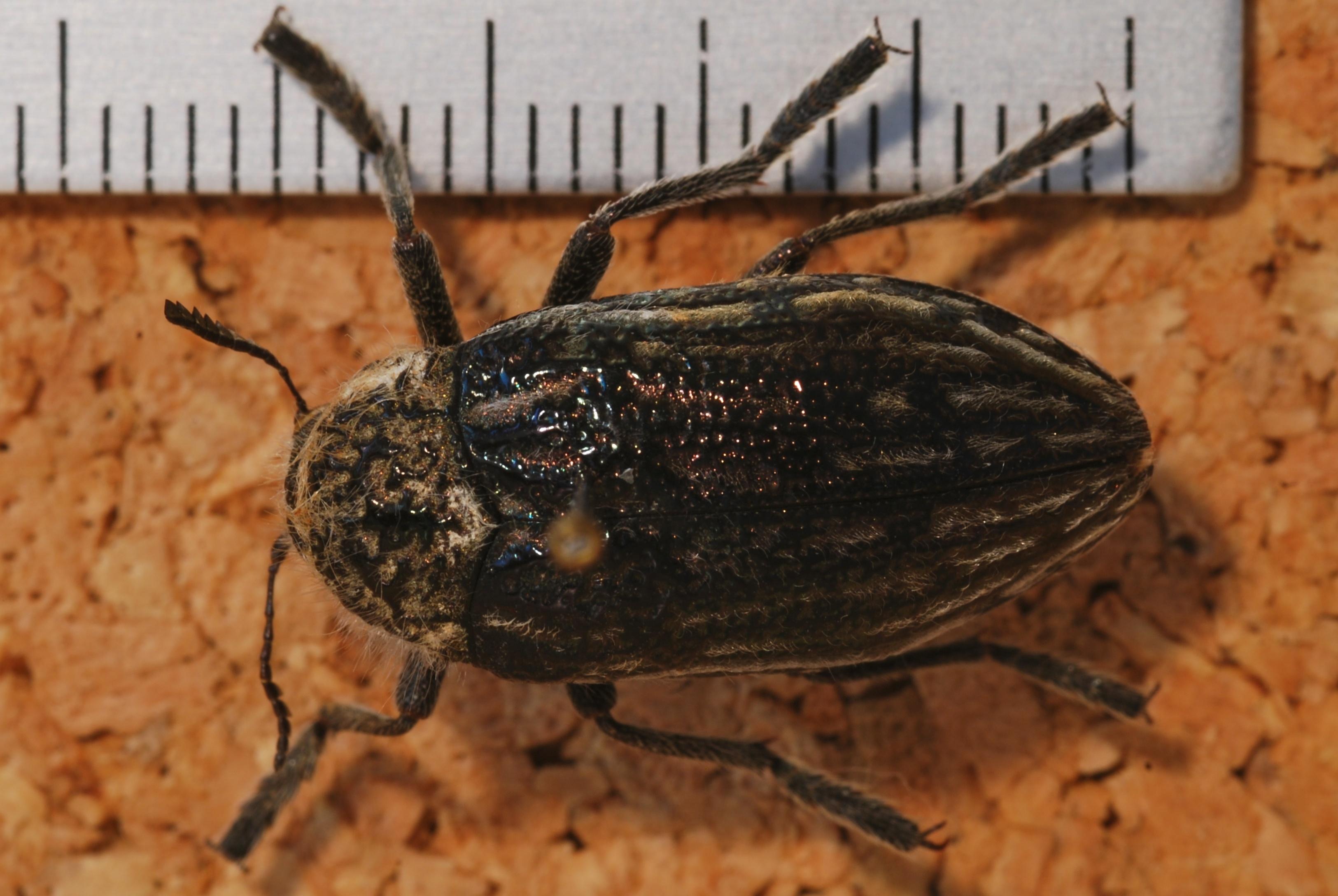 Image of <i>Julodis <i>onopordi</i></i> ssp. onopordi