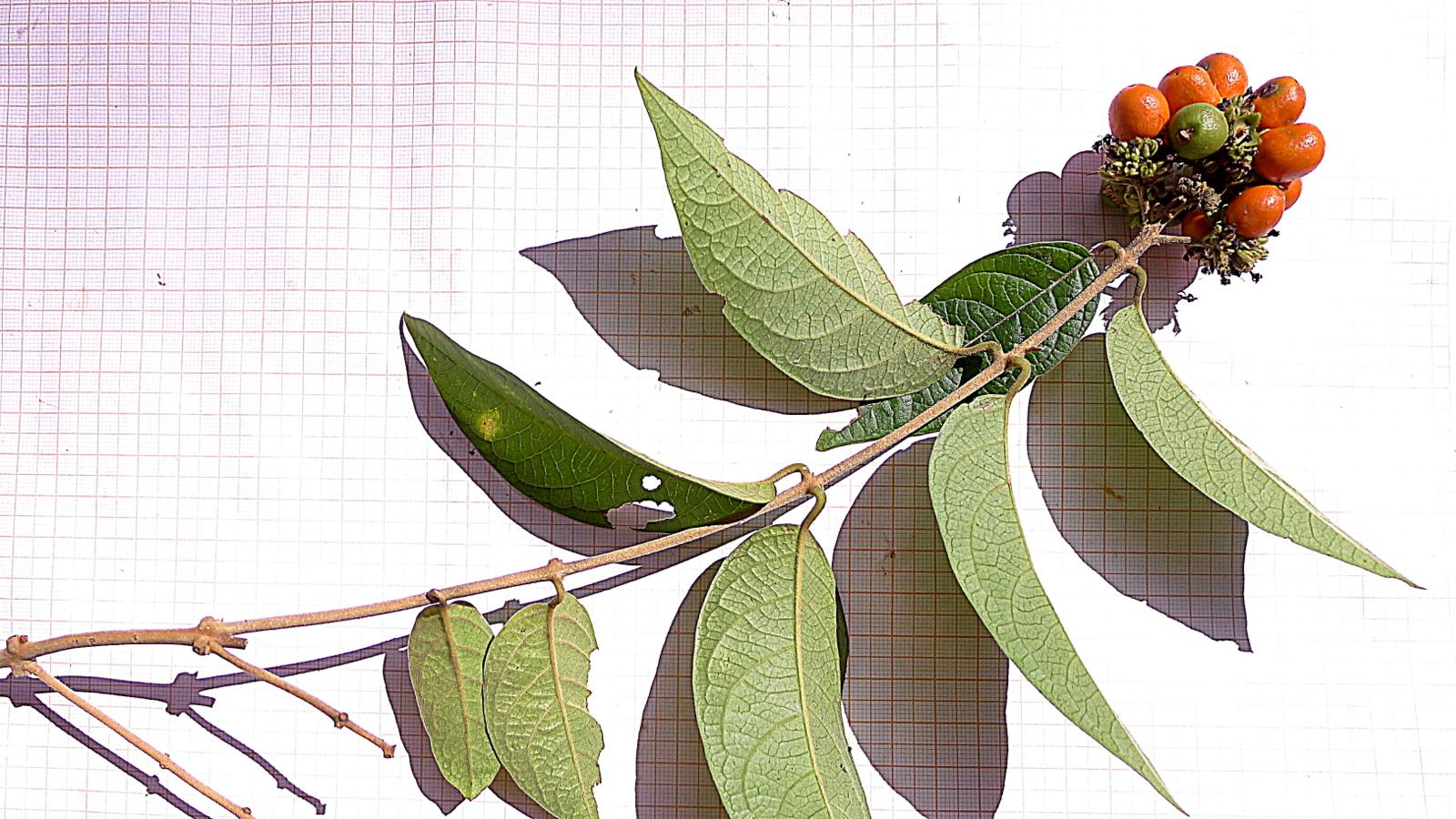 Image of <i>Aegiphila vitelliniflora</i> Klotzsch