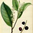 Image of cherry laurel