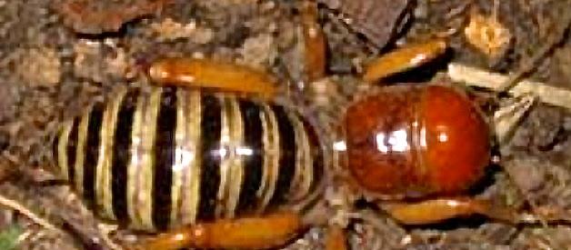 صورة <i>Stenopelmatus fuscus</i> Haldeman 1852