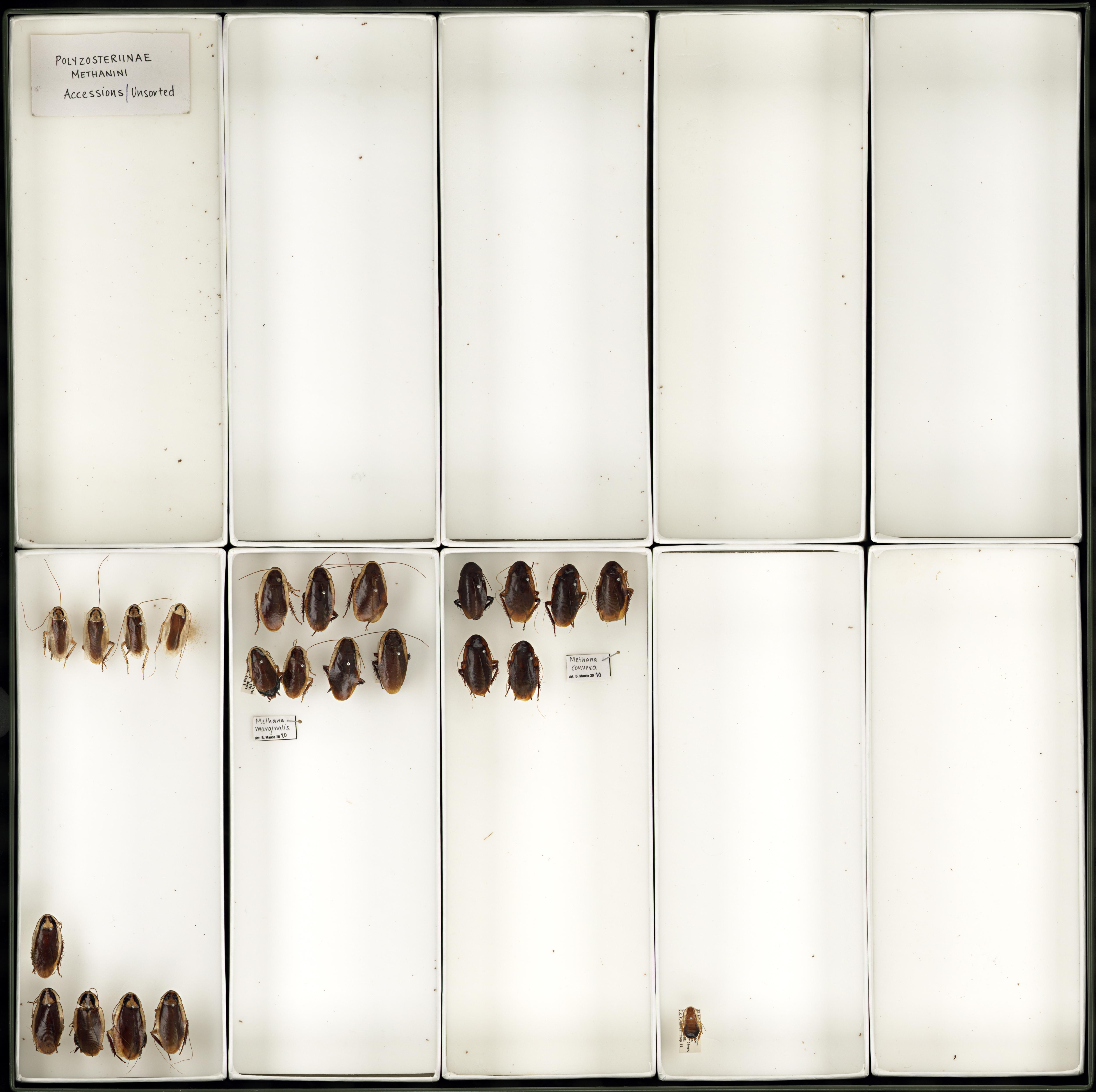 Image of <i>Methana marginalis</i> (Saussure 1864)