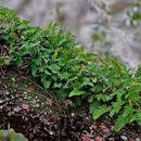 Image of Pleopeltis