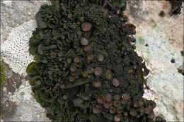 Image of jelly lichen