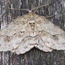 Image of The Engrailed