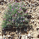 Image of tufted milkvetch