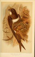 Image of Alpine swift