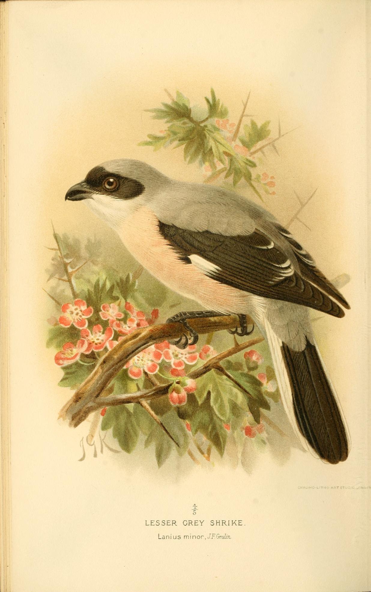 Image of Lesser grey shrike