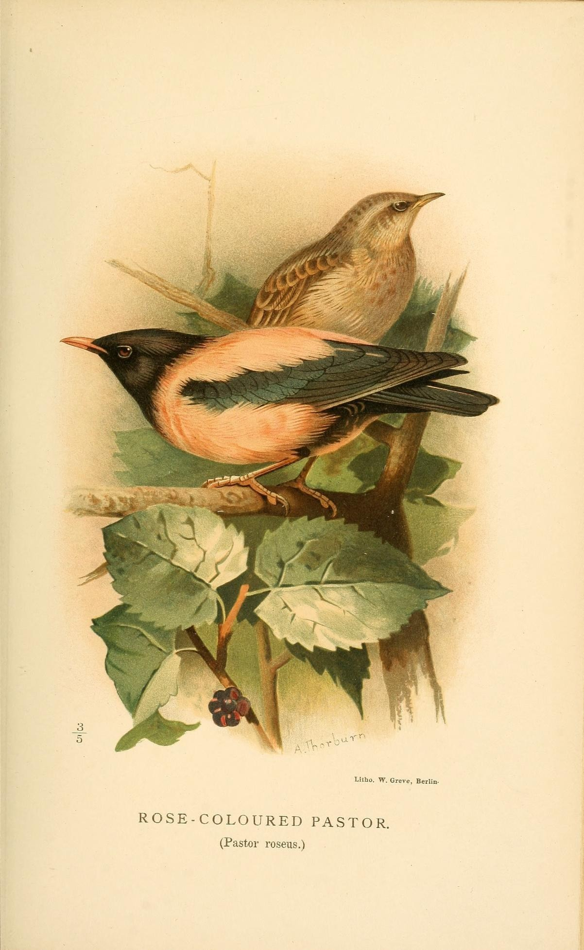 Image of Rosy Starling