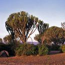 Image of Candelabra tree