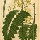 Image of Maryland senna