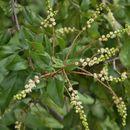 Image of Small-Flower Mock Buckthorn
